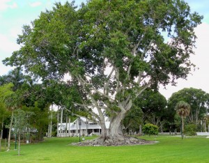 Growing Staff Like a Banyan Tree, Henry Ford's Summer Estate, Ft Myers, FL
